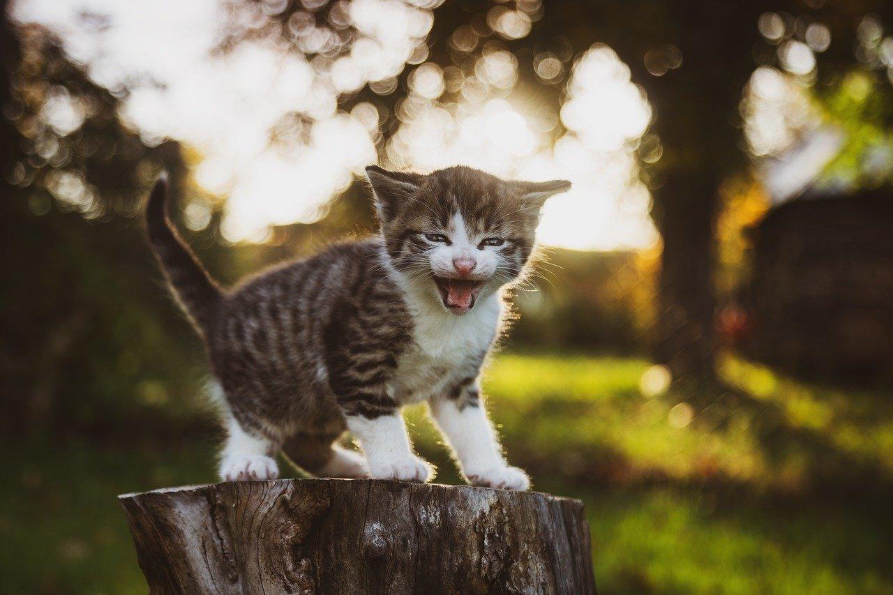 Limfocytarno-plazmocytarne zapalenie jamy ustnej u kotów